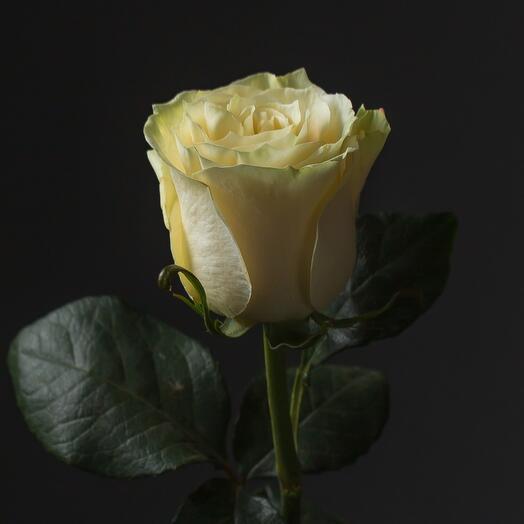 70см Роза мондиаль