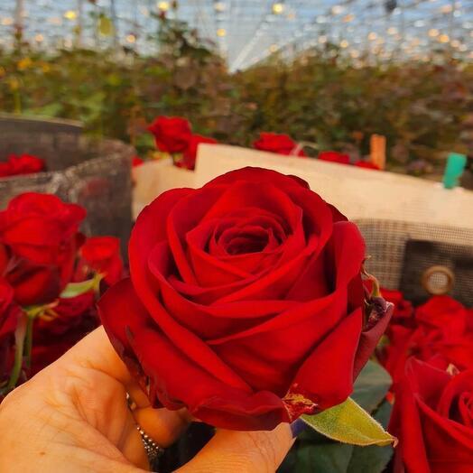 Красная Роза 40см