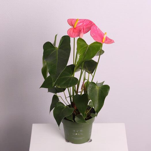 Комнатное растение «Антуриум» розовый