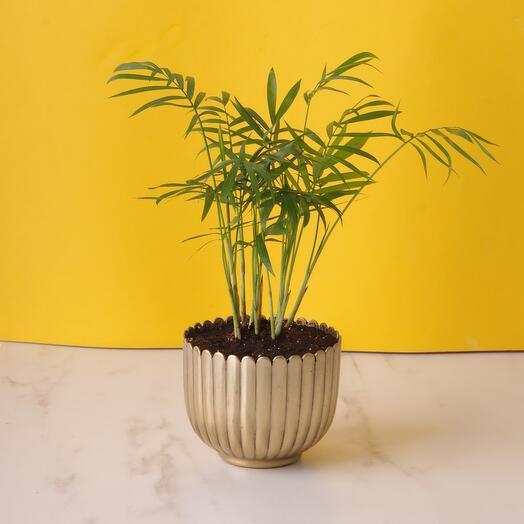 Комнатное растение дизиготека