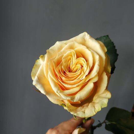 Роза Белини 70см