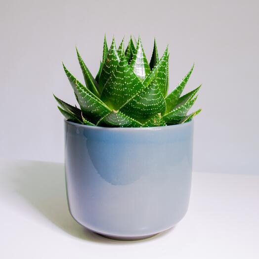 """Растение """"Алоэ Космо"""" пересаженное в Сине-бежевый горшок"""