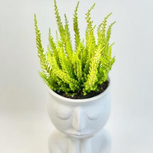 Растение Каллуна в кашпо «Слушатель»
