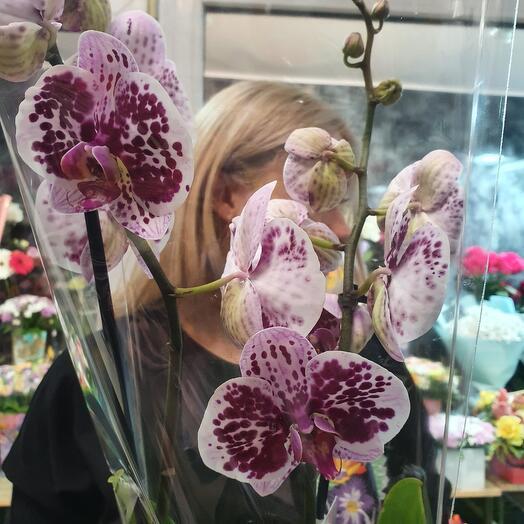 Орхидея фанилопсис