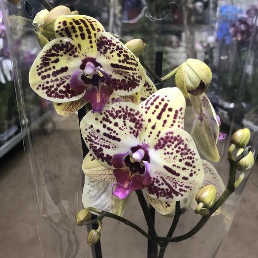 Фаленопсис экстра 2 ветки: букеты цветов на заказ Flowwow