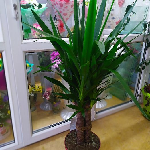 Юкка: букеты цветов на заказ Flowwow