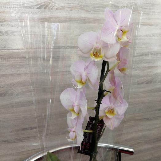 ✅ Фаленопсис орхидея