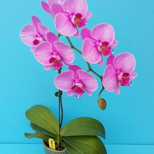 Орхидея горшечная фалинопсис