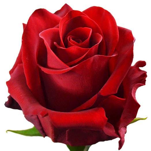 Красная эквадорская роза 50 см