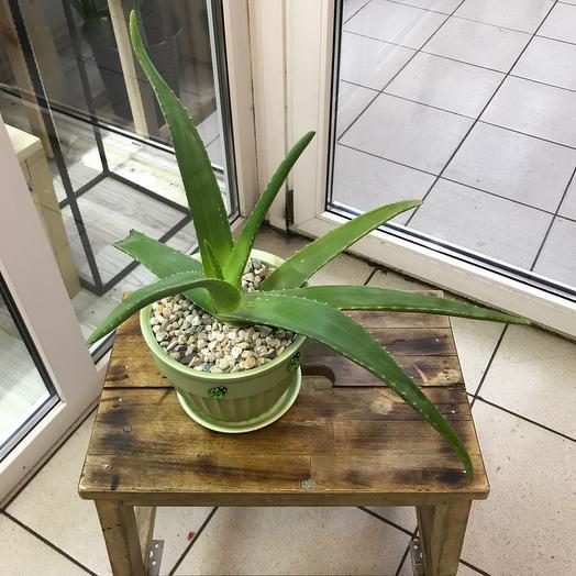 Комнатное растение «Алоэ Вера»