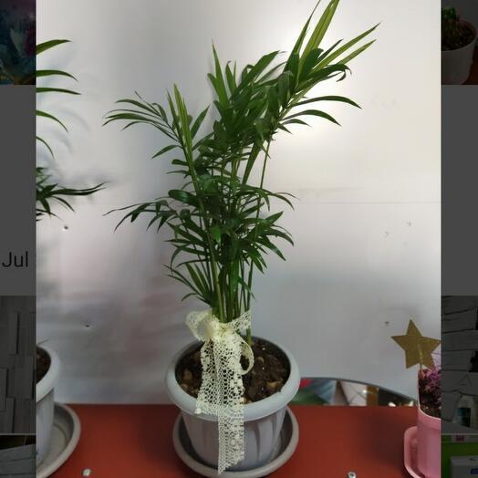 Комнатное растение Хамедория