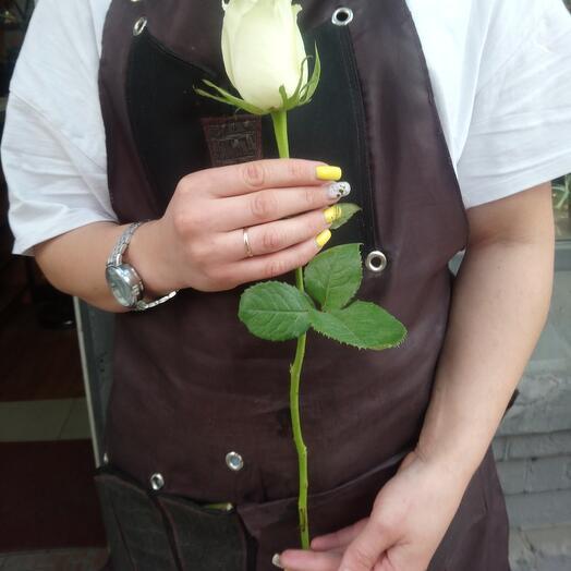 Роза Кения белая (40см)