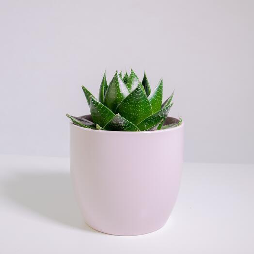 """Растение """"Алоэ Космо"""" пересаженное в Розовый горшок"""