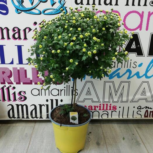 Комнатное растение хризантема на штамбе