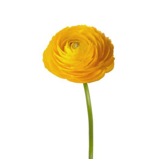 Жёлтый ранункулюс