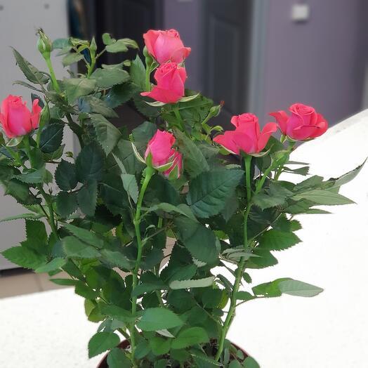 Роза Фаворит🦋