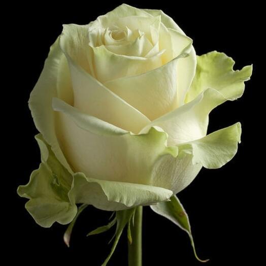 Роза Мондиаль эквадор 50 см