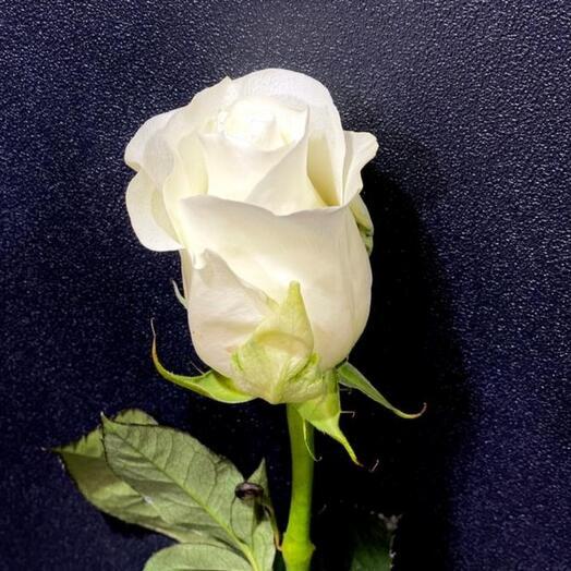 Белая роза Премиум сорт