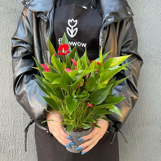 Anthurium andr Million flower 40/12