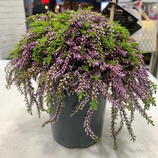 Комнатное растение Каллуна