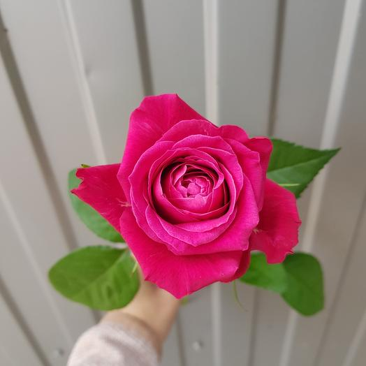 Роза-Шангрила