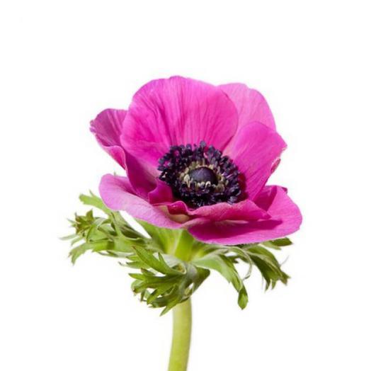 Розовый анемон