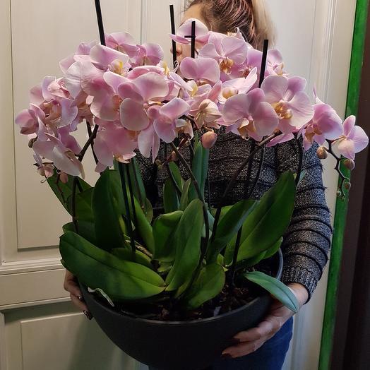 Орхидея фаленопсис XXXL: букеты цветов на заказ Flowwow