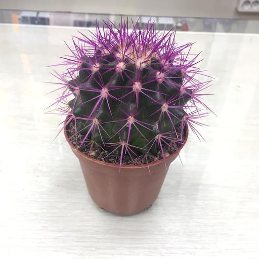 Кактус Фиолетовый