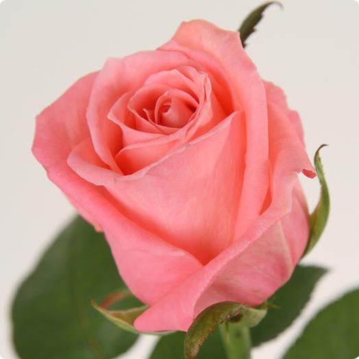 Коралловая Роза «Карина» 70 см