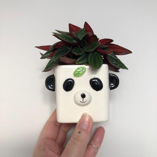 Пеперомия Россо в горшочке панда