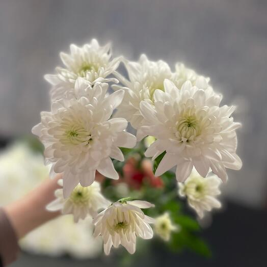 Хризантемма  зембла белая