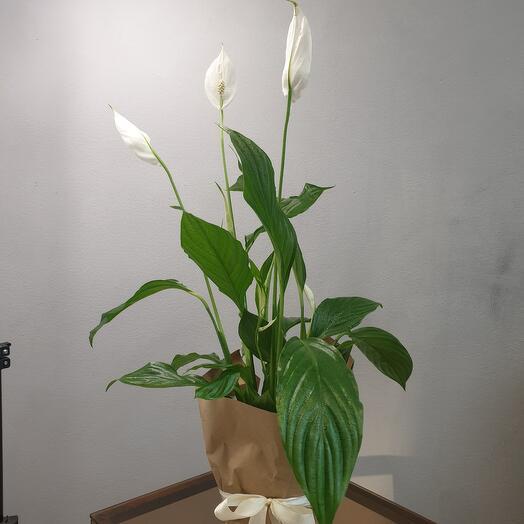 Комнатное растение Спатифилиум