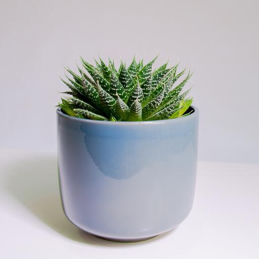 """Растение """"Алоэ Остистое"""" пересаженное в Сине-бежевый горшок"""