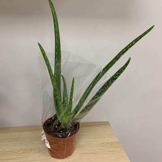 Комнатное растение Алое