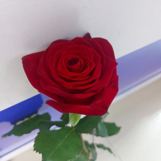 Роза ред 80 см