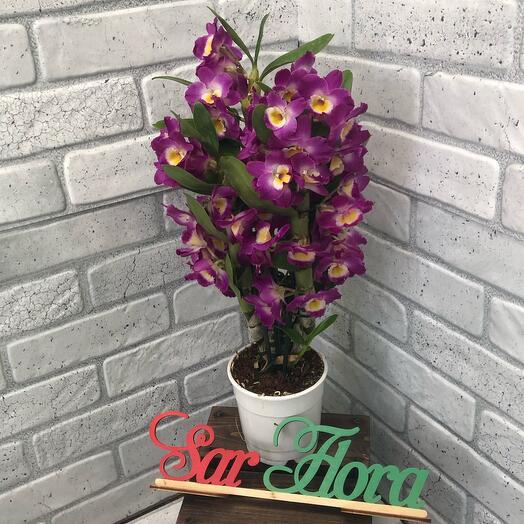 Комнатное растение дендробиум