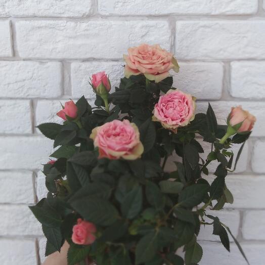 Комнатное растение 🌹