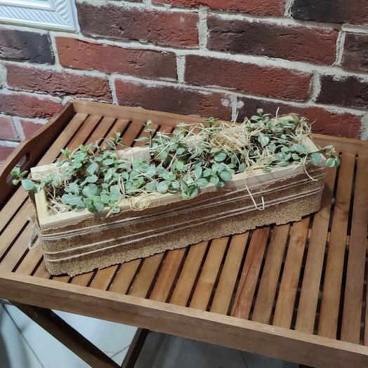 Композиция из 9 Портулакарии в декоративном деревянном кашпо