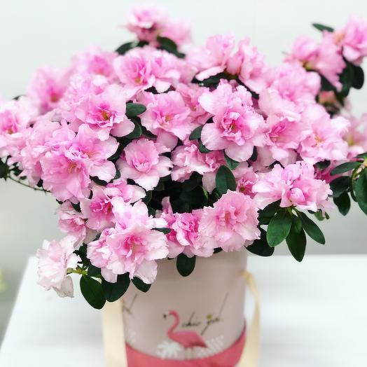 Азалия: букеты цветов на заказ Flowwow