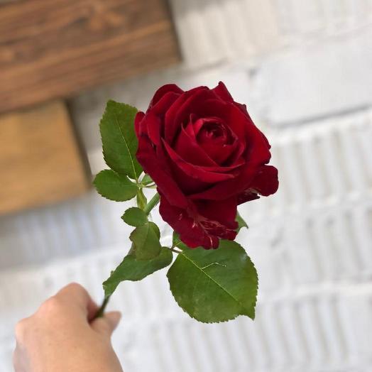 Роза местная 60 см