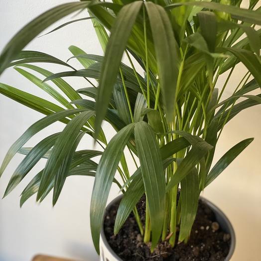 Комнатное растение Пальмовые микс