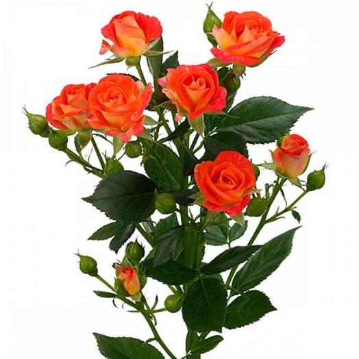 Роза кустовая Фиеста 50 см