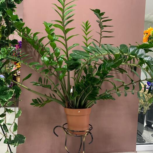 Комнатное растение замиокулкас