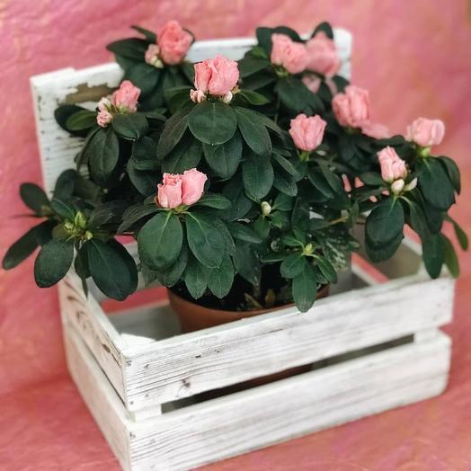 Азалия в горшке: букеты цветов на заказ Flowwow