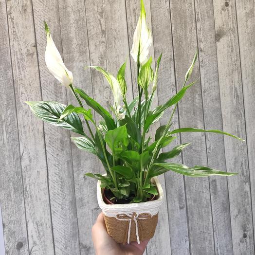 Спатифиллум Шопен: букеты цветов на заказ Flowwow