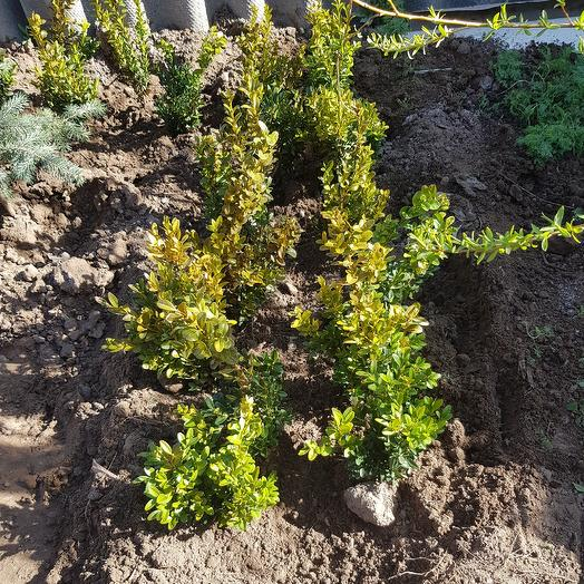 Самшит вечнозелёный: букеты цветов на заказ Flowwow