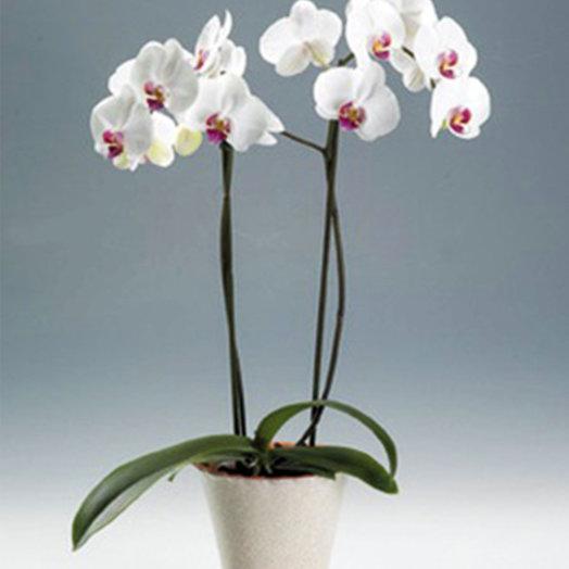 Орхидея двуствольная белая