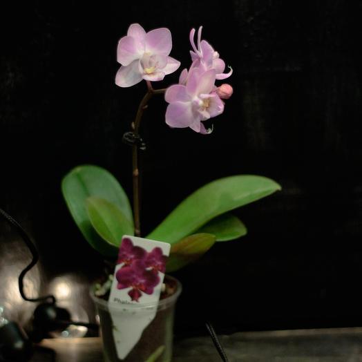 МИНИ орхидея всего 10 см: букеты цветов на заказ Flowwow