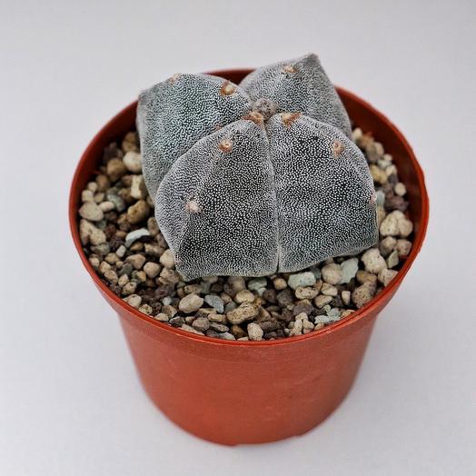 Astrophytum Myriostigma Quadricostatum: букеты цветов на заказ Flowwow