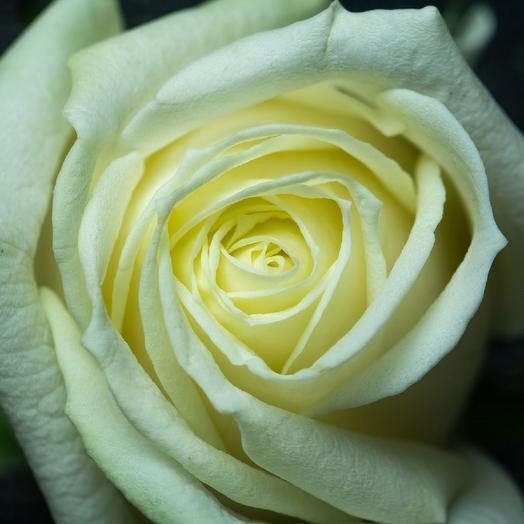 Белая роза Аваланж